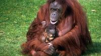 Half-Day Semenggoh Orangutan Centre Tour from Kuching