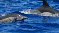 Swim with Dolphins in the Azores