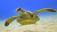 Barbados Shore Excursion: Turtle Feed and Swim Tour
