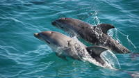 Mornington Peninsula Dolphin and Seal Cruise from Sorrento, Sorrento Water Activities