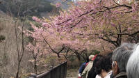Winter Cherry Blossoms Festival & Strawberry Picking from Tokyo