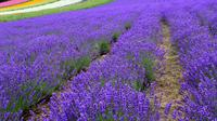 Full-Day Furano Lavender Farm and Blue Pond from Sapporo