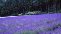 Full-Day Tambara Lavender Park including Peach and Blueberry Tasting from Tokyo