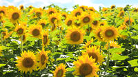 Sunflower Field and Lavender Park Shared Day Trip from Tokyo