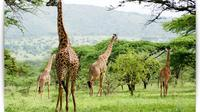 5 Days 4 Nights Budget Camping Safaris to Lake Manyara, Ngorongoro Crater, Serengeti and Tarangire