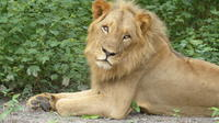 Private Full-Day Lion Walk in Senegal from Banjul