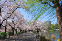 Cherry Blossoms and Historical Walking Tour in Tokyo