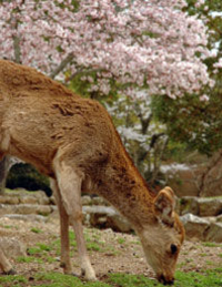 Kyoto and Nara Day Tour including Golden Pavilion and Todaiji Temple from Osaka