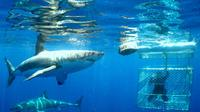 Shark Dive Tour From Cape Town