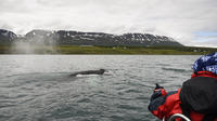 Express Whale Watching from Akureyri