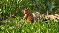 Proboscis Monkey River Safari