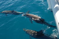 Hervey Bay, the Great Sandy Strait and Fraser Island Dolphin Watching Cruise from Hervey Bay