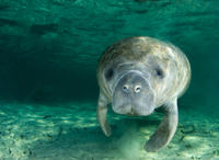 Self-Drive Swim with Manatees on the Crystal River
