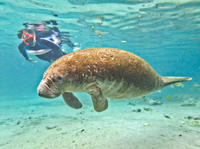 Swim with Manatees at Crystal River plus Everglades Airboat Adventure