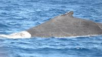 Full-Day Whale Watching Tour in Praia do Forte from Abrantes image 1