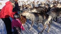 Reindeer Feeding, Lasso Throwing, and Sami Culture Tour Including Lunch from Tromso image 1