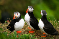 Picture of Whale Safari and Puffin Island Tour from Reykjavik