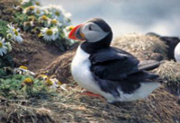 Whale Safari and Puffin Island Tour from Reykjavik