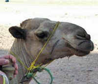 Private Camel Safari with Optional Bedouin Dinner
