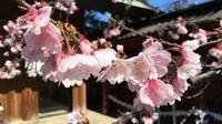 Daytime Hanami (Cherry Blossom Time) With a Local