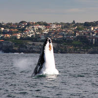 Picture of Sydney Eco Whale Watching Small Group Cruise