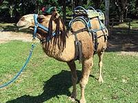 Camel Ride and Plantation Tour