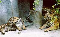 Tiger Zoo Tour from Pattaya including Lunch