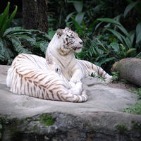 Singapore Shore Excursion: Singapore Zoo Private Tour