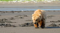Alaska Bear Viewing Day Tour