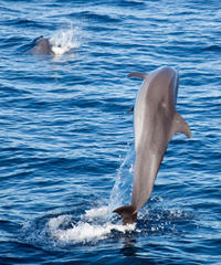Oahu Dolphin-Watching Cruise with Lunch