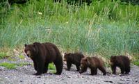 Juneau Shore Excursion: Exclusive Pack Creek Bear Viewing from Juneau