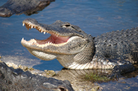 Miami Shore Excursion: Pre- or Post-Cruise Everglades Airboat Tour