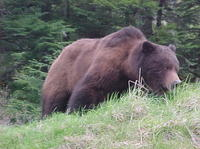 Juneau Shore Excursion: Bears, Whales and Glaciers by Land, Sea and Air