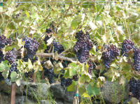 Seattle Shore Excursion: Small-Group Wine-Tasting Tour through Woodinville