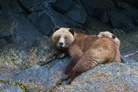 Orcas and Grizzlies: 5-Day Wildlife Tour to Alert Bay from Vancouver or Victoria