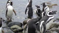 Shore Excursion: Magellan Penguins Natural Reserve in Magdalena Island from Punta Arenas