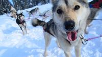 Full-Day Willow Dog Sledding