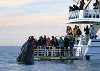 Picture of Hervey Bay Whale Watching Cruise