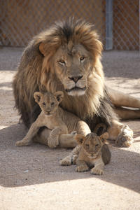 Lion Habitat Ranch: General Admission with Optional Behind-the-Scenes Tour
