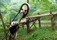 Private Tour: Chengdu Panda Research Center with One-Way Airport Transfer Private Car Transfers