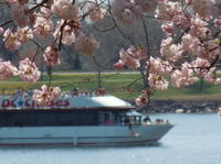 Weekend Cherry Blossom and Monuments Cruise in Washington DC Picture