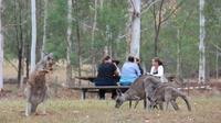 Breakfast with the Kangaroos Blue Mountains Day Tour
