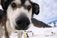 Juneau Shore Excursion: Helicopter Tour and Dogsledding Experience