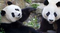 Adelaide Zoo Behind the Scenes Experience: Exclusive VIP Giant Panda Experience image 1