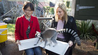 Adelaide Zoo Behind the Scenes Experience: Lemur Encounter image 1