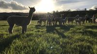 Alpaca Farm Day tour