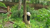 One-Day Private Customize-able Chengdu Panda Breeding & Research Center and City Highlights