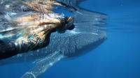 Swimming with Whale Sharks in Ningaloo Reef from Exmouth, Exmouth Water Activities