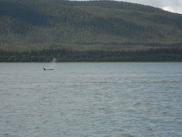 One of three orcas we saw surfacing , Darlyn B - July 2014