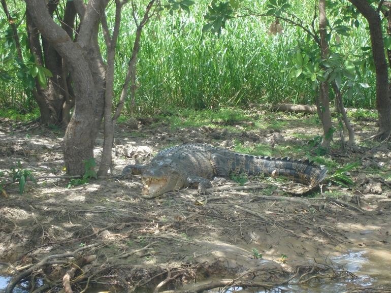 Croc at Yellow Water - Darwin